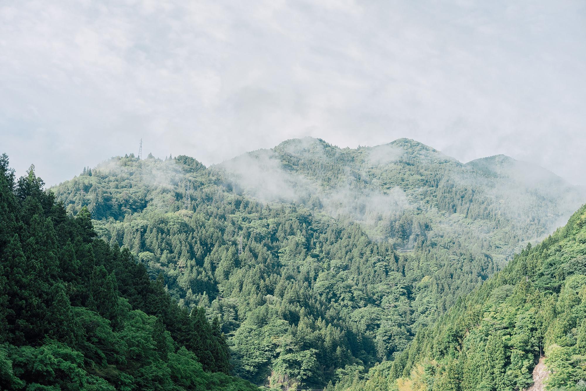 濃い霧が良質な茶葉を育てる