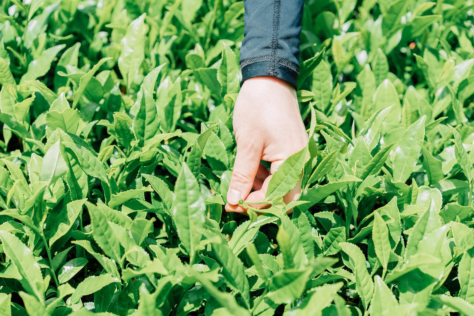日照時間が短く、ゆっくり育った茶葉は甘い