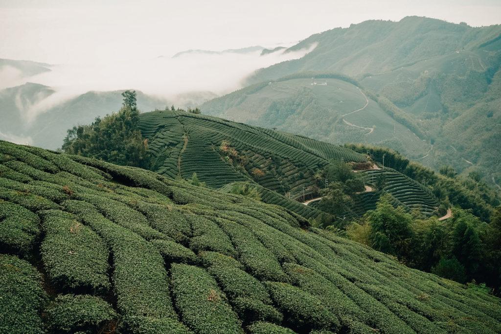 急斜面にはりつくように茶畑が続いています